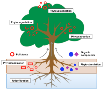 phytoremediation_process